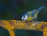 Little Billy by biffobear, photography->birds gallery