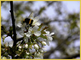Cherry and a bumblebee by MarianaEwa, Photography->Insects/Spiders gallery