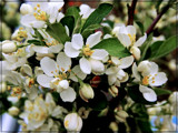 Crabapple Blooms by trixxie17, photography->flowers gallery