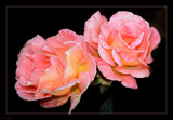 Two Of A Kind by LynEve, photography->flowers gallery