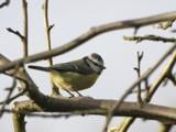 Blue Tit by pom1, Photography->Birds gallery