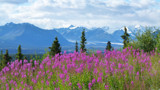 Fireweed and Glaciers by ted3020, photography->landscape gallery