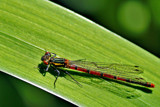 Small Red Damselfly by biffobear, photography->insects/spiders gallery