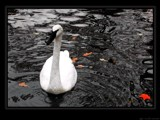 Swan on fall pond by RobNevin, Photography->Birds gallery
