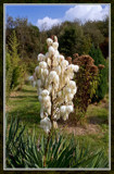 Flowering Yucca by corngrowth, Photography->Flowers gallery