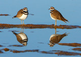 Killdeer Bookends by legster69, Photography->Birds gallery