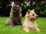 Cairn Terrier's by JaiJoli, photography->animals gallery