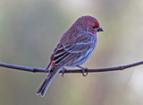Purple Finch by gharwood, photography->birds gallery