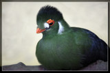 White Cheeked Turaco 2 by Jimbobedsel, photography->birds gallery