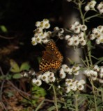Painted Lady by busybottle, photography->butterflies gallery