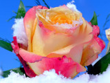From the Snow Garden....Comes the Beauty of a Rose! by marilynjane, Photography->Flowers gallery