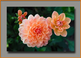 Three Dahlias by Ramad, photography->flowers gallery