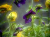 Dewey by norfintork, Photography->Flowers gallery