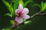 Blooms of 2012 - Almond by elektronist, photography->flowers gallery