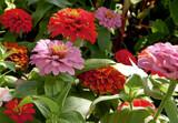 Last Zinnias by trixxie17, photography->flowers gallery
