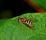 Marmalade Hoverfly by biffobear, photography->insects/spiders gallery