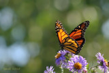 The Monarch On Aster's by tigger3, photography->butterflies gallery