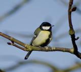 GreatTit by twinkel, photography->birds gallery