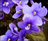 Violets by trixxie17, photography->flowers gallery