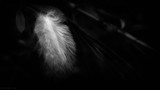 A feather on the breath of God. by coram9, photography->macro gallery