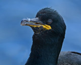 Shag... by biffobear, photography->birds gallery