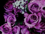 Purple Roses by camerahound, Photography->Manipulation gallery
