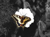 Singular Beauty by caedes, Photography->Butterflies gallery
