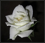 White Rose by ccmerino, Photography->Flowers gallery
