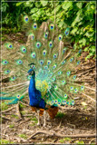 Peacock by corngrowth, photography->birds gallery