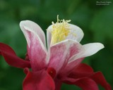 Columbine by samarn, Photography->Flowers gallery