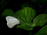butterfly on a leaf by jeenie11, Photography->Butterflies gallery