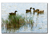 Quiet ducks by ppigeon, Photography->Birds gallery