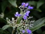 Bluebeard Shrub by trixxie17, photography->flowers gallery