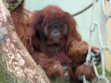 Orangutan by boremachine, Photography->Animals gallery
