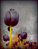 Textured Tulips by Dunstickin, photography->manipulation gallery