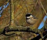 Coaltit by biffobear, photography->birds gallery