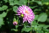Dahlia Garden Lovely #2 by tigger3, photography->flowers gallery