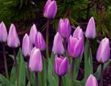 """Creamy Grape"" Tulips by trixxie17, photography->flowers gallery"