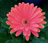 Gerbera Daisy by trixxie17, photography->flowers gallery