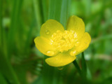 Appalachian Buttercup by Akeraios, photography->flowers gallery
