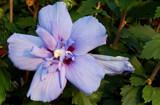 Blue Chiffon by trixxie17, photography->flowers gallery