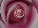 Pink Rose Macro by ccmerino, photography->macro gallery