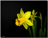 Daffodil by ccmerino, photography->flowers gallery