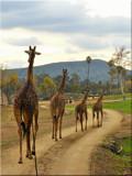 Giraffe Parade by pinkheythur, photography->animals gallery