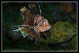 Cowardly Lionfish 2 by Jimbobedsel, Photography->Underwater gallery