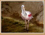 Spoonbill Crane by Jimbobedsel, photography->birds gallery