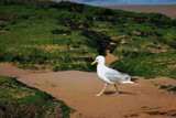 Gull  -  Walking by braces, Photography->Birds gallery