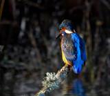 Far Pastures Kingfisher by biffobear, photography->birds gallery
