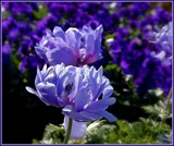 Blue Monday Anemones by trixxie17, photography->flowers gallery