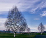 Birch Beauty by verenabloo, Photography->Landscape gallery